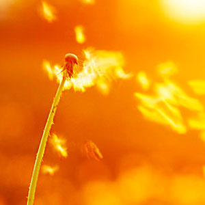 Photo of a dandelion weed blowing in the wind linking to our Mindfulness-Based Therapy to represent how mindfulness and meditation can help you notice even the small things in your life.